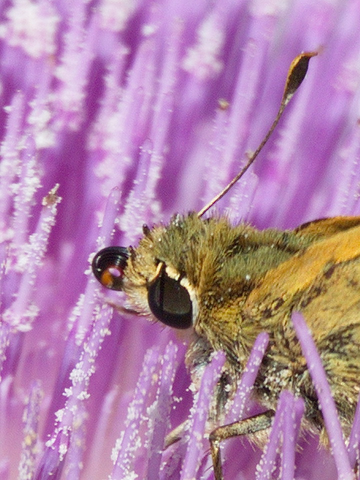 A whirlabout skipper with it probiscis coiled tightly in front of its mouth.