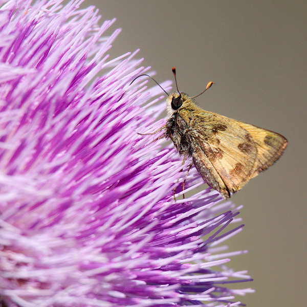 With its proboscis, this female whirlabout skipper probes deeply into the flower.