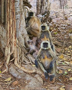 Photos of Langur Monkeys, some with babies, in the National Park and Tiger Reserve at Ranthambhore, India