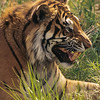 Species of tigers include the Bengal Tiger, Indochinese Tiger, Malayan Tiger, Sumatran Tiger, Siberian Tiger, and South China Tiger,