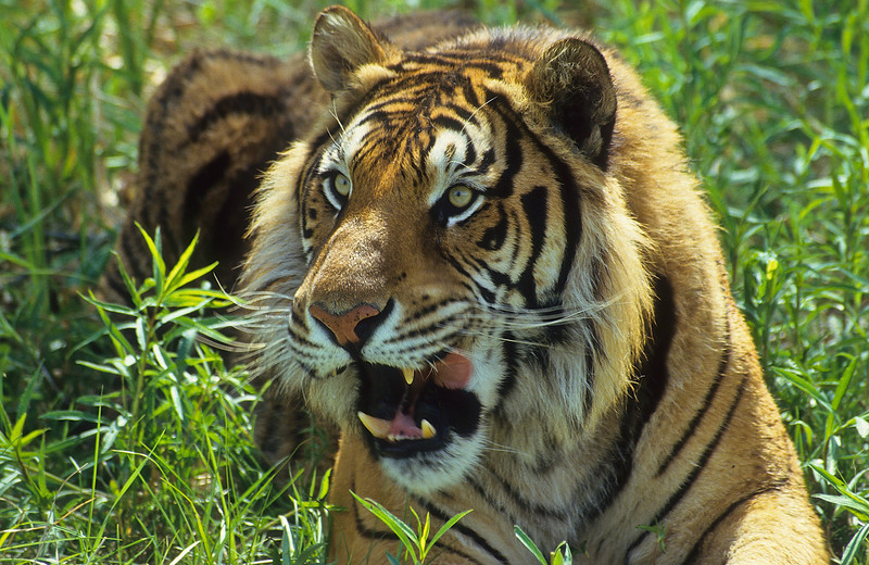 There are nine subspecies of tigers, three are unhappily extinct.  All populations are in decline.
