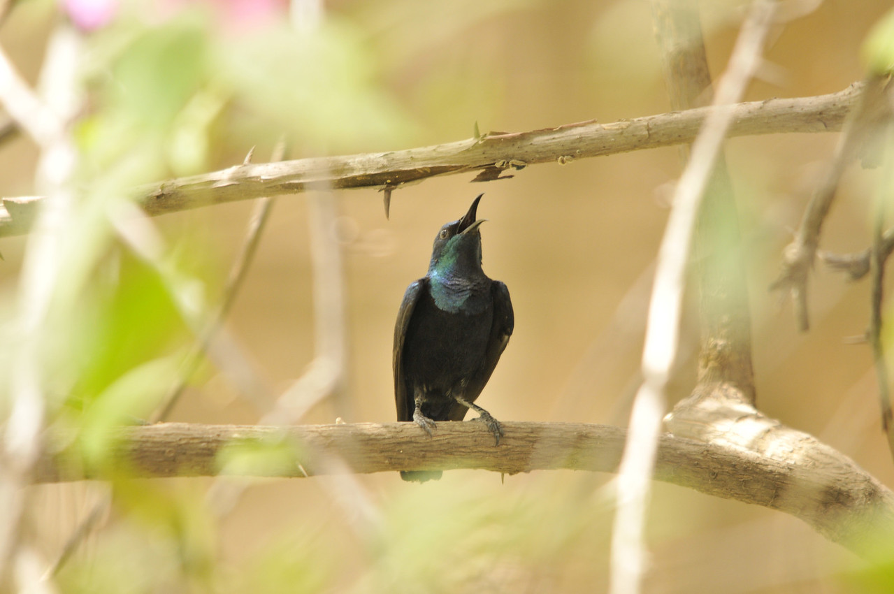 I have it on good Authority that its a Purple throated Sunbird.