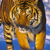 The morning sun lights this colorful tiger.  Tigers will take a few days to eat a large prey.  They will cover any remains with dirt and leaves until they return to finish.