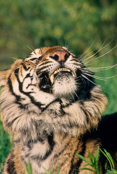 He has an itch and was shaking his head.  Tigers will take all size prey, depending on where they live.