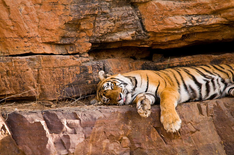 Royalty at Rest. Machali. Ranthambhore National Park, Rajastan, India