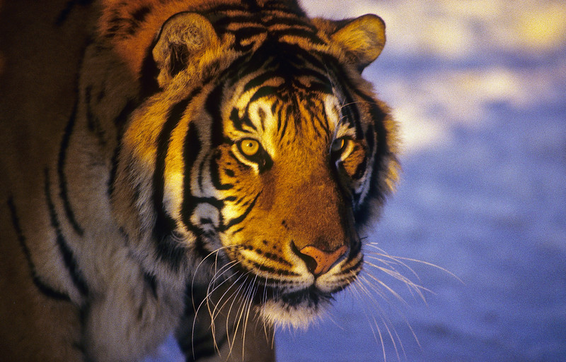 As night falls the hunt begins.  Tigers are solitary hunters but sometime will share with a female.