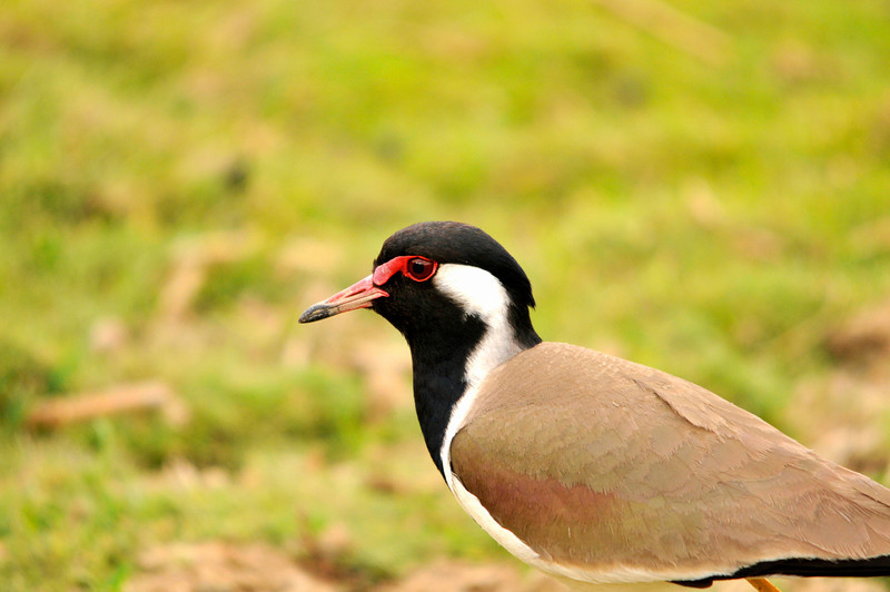 Plover. Ranthambhore National Park, Rajastan, India
