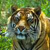 What a beautiful face.  Over the last 100 years, 95% of the tigers world habitat has ben destroyed.