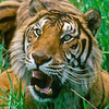 Poaching of tigers and their prey, increased logging and road construction, forest fires, and inadequate law enforcement threatens survival of the species.