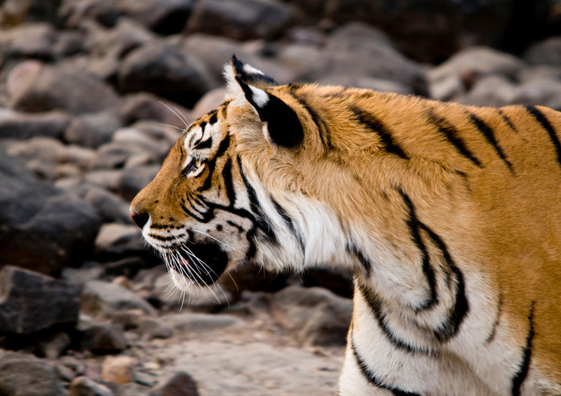 Machali driving her daughter from her territory. Ranthambhore National Park, Rajastan, India