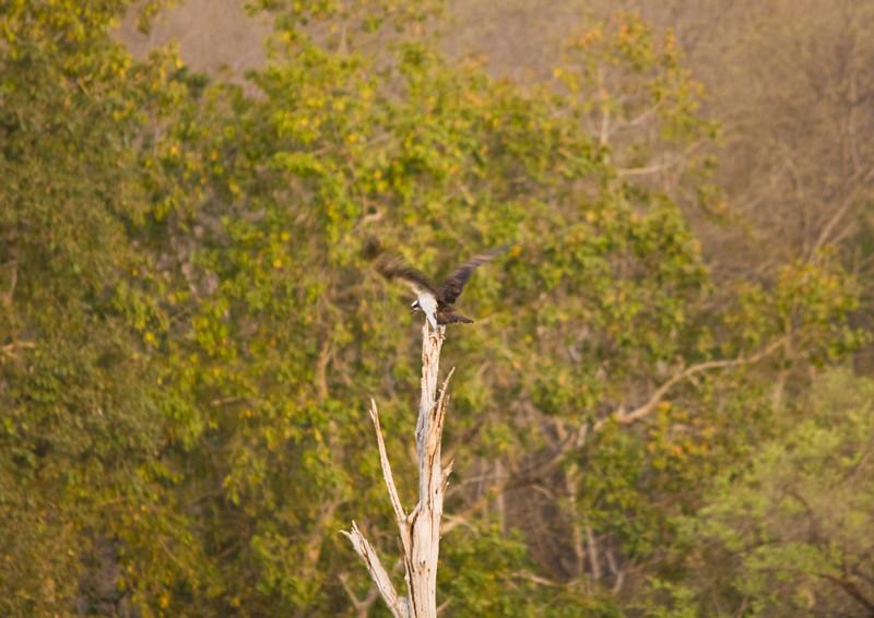 Distant Osprey. Ranthambhore.