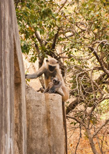 Langur female with young. Step Well, Ranthambhore National Park, Area 1 (?).