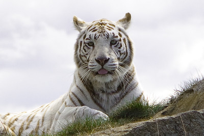 White Bengal Tiger at West Midlands Safari Park