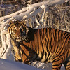 This magnificent animal shines in the new snow.  Such a massive and beautiful creature.  And a dangerous one to boot.