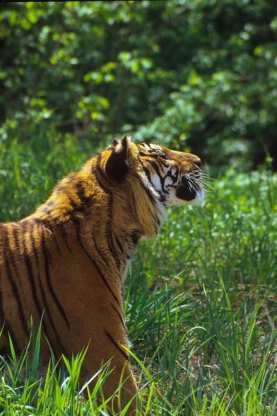 It has always been thought that tigers only hunt at night.  But is regions without humans, they will hunt during the day.