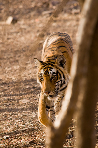 On a mission.Ranthambhore National Park