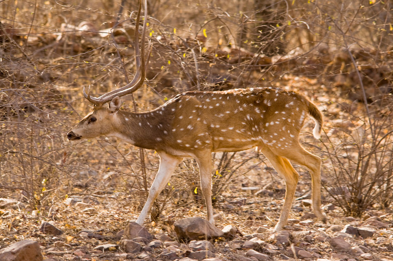 Spotted deer.Ranthambhore National Park, Rajastan, India