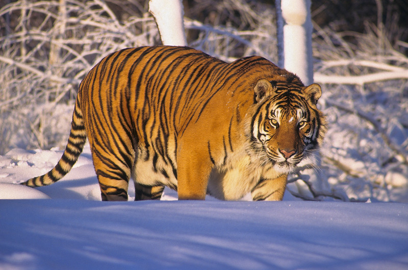 A very large and frightening tiger.