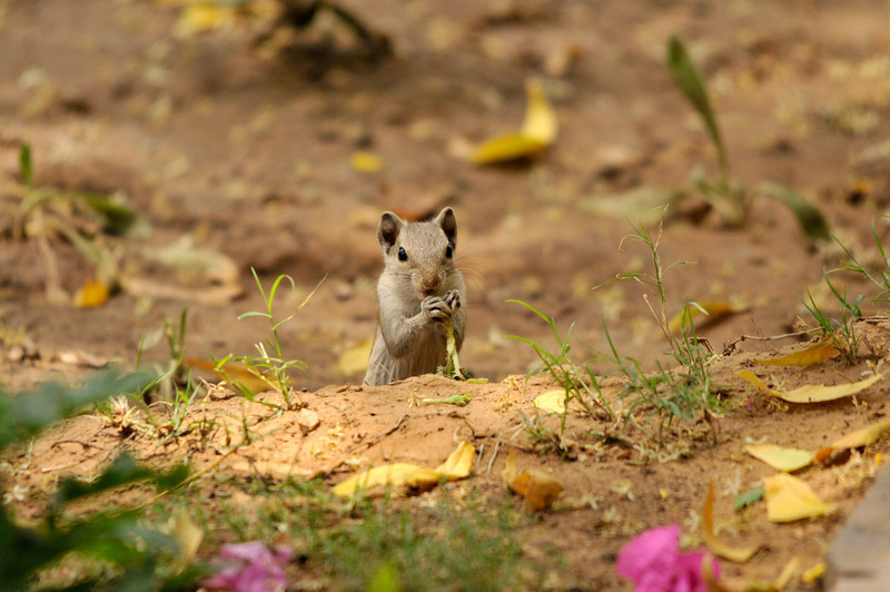 Squirrel, Ranthambhore Bagh garden.