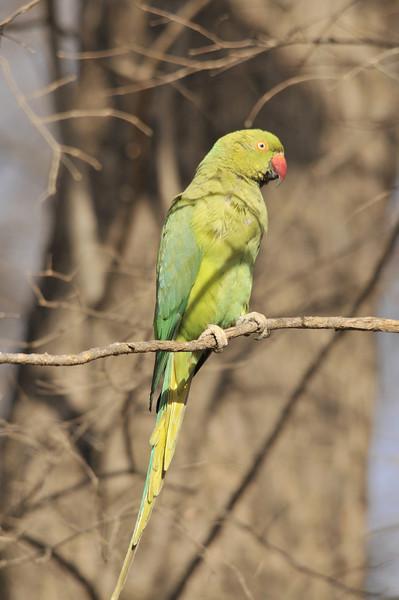 Parakeet. Ranthambhore