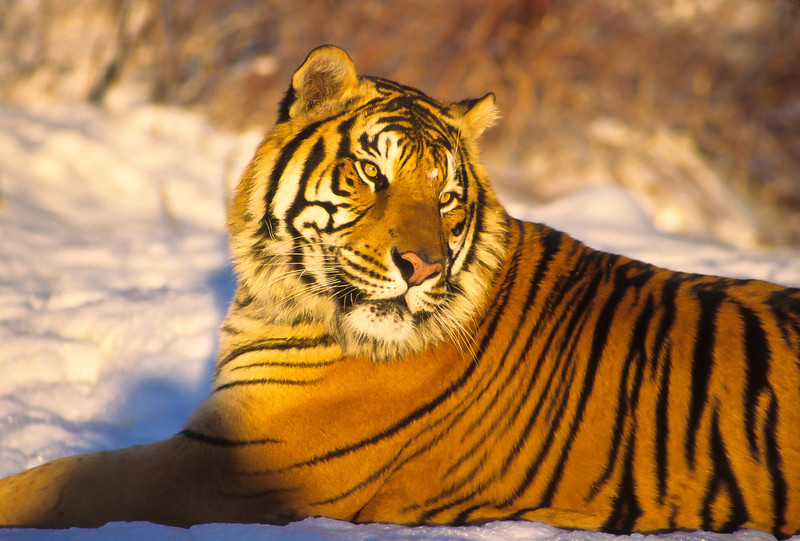 What a beautiful tiger.  His fur pops with the dark orange of the evening sun.  The big cat seems to be enjoying the warmth.