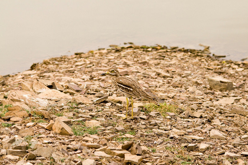 Stone Curlew, Ranthambhore National Park<br /> I nearly didn't see it!