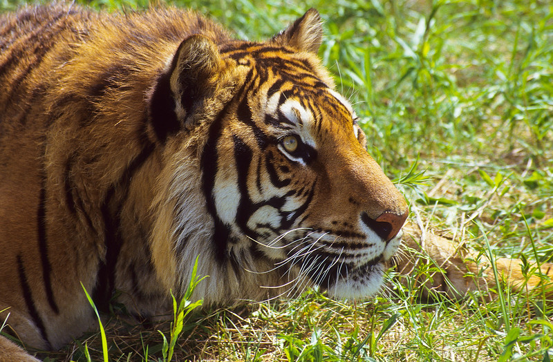 Tigers tend to be tolerant of other smaller and younger tigers within their domain.  Once they are full grown, they may search for their own territory.