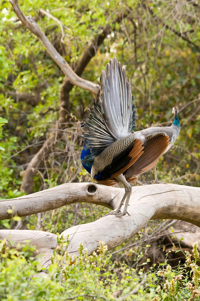 Peacock displaying on a tree. Ranthambhore National Park, Rajastan, India