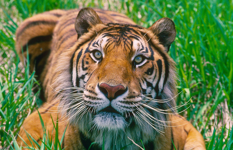 Among the big cats, only the tiger and jaguar are strong swimmers; tigers are often found bathing in ponds, lakes, and rivers.  Unlike other cats, which tend to avoid water, tigers love a cool swim.  This cat has a humorous look about him.