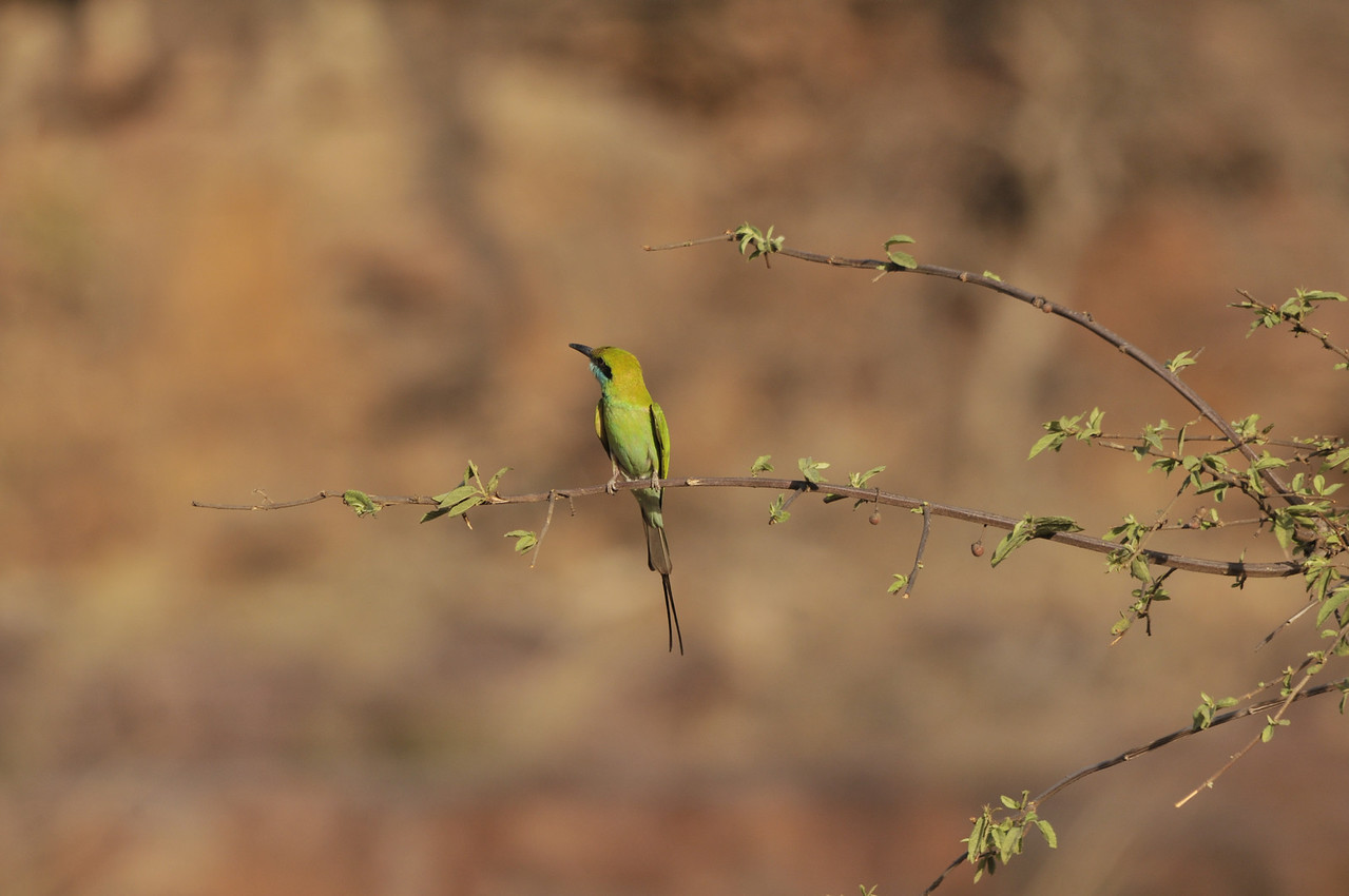 Bee Eater in Ranthambhore