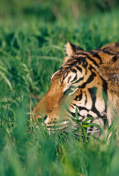 Tigers will stay low when stalking prey in an attempt to get as close as possible.