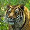 Tigers will mate any time of the year but normally November and April are favorites.
