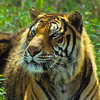 Tiger need large areas for habitat and one that supports enough prey to feed them.  The are solitary cats and the females raise the cubs alone.