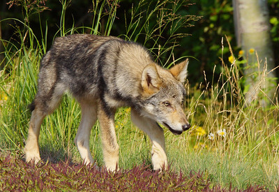 Gray Wolf Pup 16