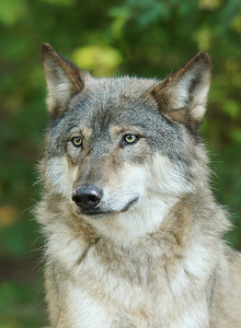 Timber Wolf 12