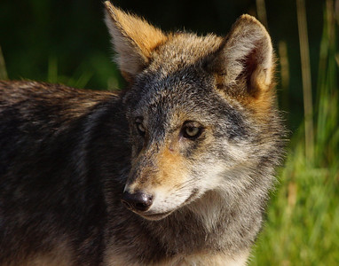 Gray Wolf Pup 13