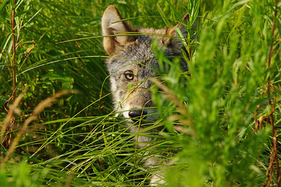 Gray Wolf Pup 1