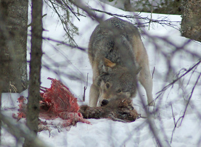 Wolves Feeding on Deer 004