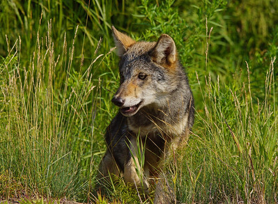 Gray Wolf Pup 5