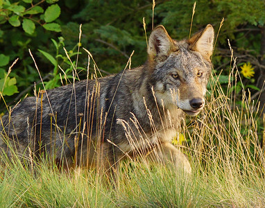 Gray Wolf Pup 10