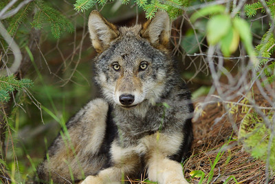 Gray Wolf Pup 2_