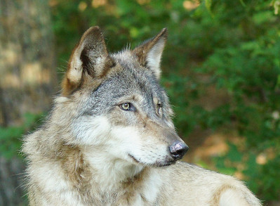 Timber Wolf 6