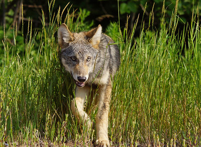 Gray Wolf Pup 6