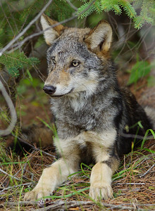 Gray Wolf Pup 4