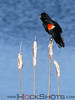 Red-winged Blackbird displaying male