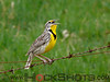 Western Meadowlark. The bird in this photograph is the one and only record of this species documented in Timiskaming District.
