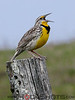 Western Meadowlark. The bird in this photograph is the one and only record of this species documented in Timiskaming District. It was taken at the top of Waugh's Hill Road east of Sutton Bay Park.