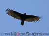 Turkey Vulture over south Timiskaming