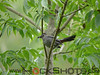 Gray Catbird at Kap-Kig-Iwan Park near Englehart