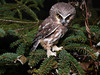 Saw-whet Owl, Hilliardton Marsh